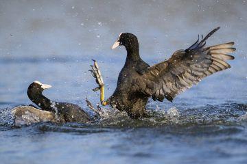 Eurasian coots (Fulica atra) territorial fight in water, London, UK, April