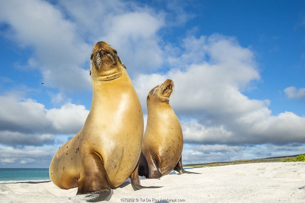 Galapagos sea lion (Zalophus wollebaeki) female and pup, Gardner Bay, Espanola Island, Galapagos, Ecuador