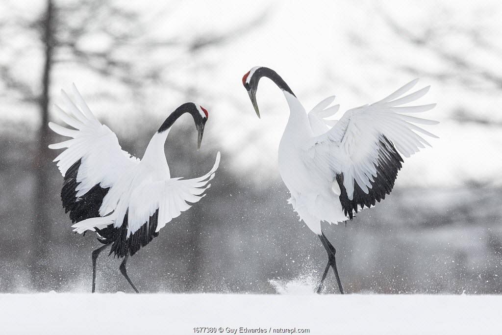 Red-crowned crane (Grus japonensis) pair in courtship display, Hokkaido, Japan. February