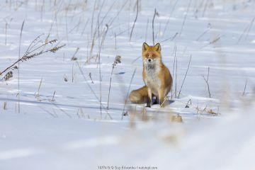 Ezo Red Fox (Vulpes vulpes schrencki) in snow, Hokkaido, Japan. February