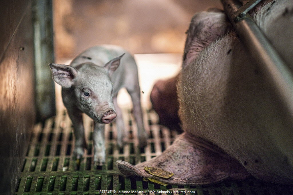 One piglet from a large litter looks around her small crate as her mother lies immobile beside her. Sows are kept in gestation crates and then farrowing crates in industrial farms, which is the standard way of raising pigs for food.