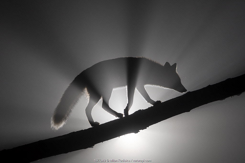 Female Red fox (Vulpes vulpes) walking along tree trunk in heavy fog at night. Light source behind the subject creates dramatic volumetric lighting. Vertes Mountains, Hungary.