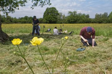 Wiltshire Wildlife Trust volunteers planting Devil's bit scabious (Succisa pratensis) plant plugs in a mown patch of a formerly farmed meadow with many flowering Meadow buttercups (Ranunculus acris) to provide food for caterpillars of the Marsh fritillary butterfly (Euphydryas aurinia), Upper Minety Meadows reserve, Wiltshire, UK, June. Model released