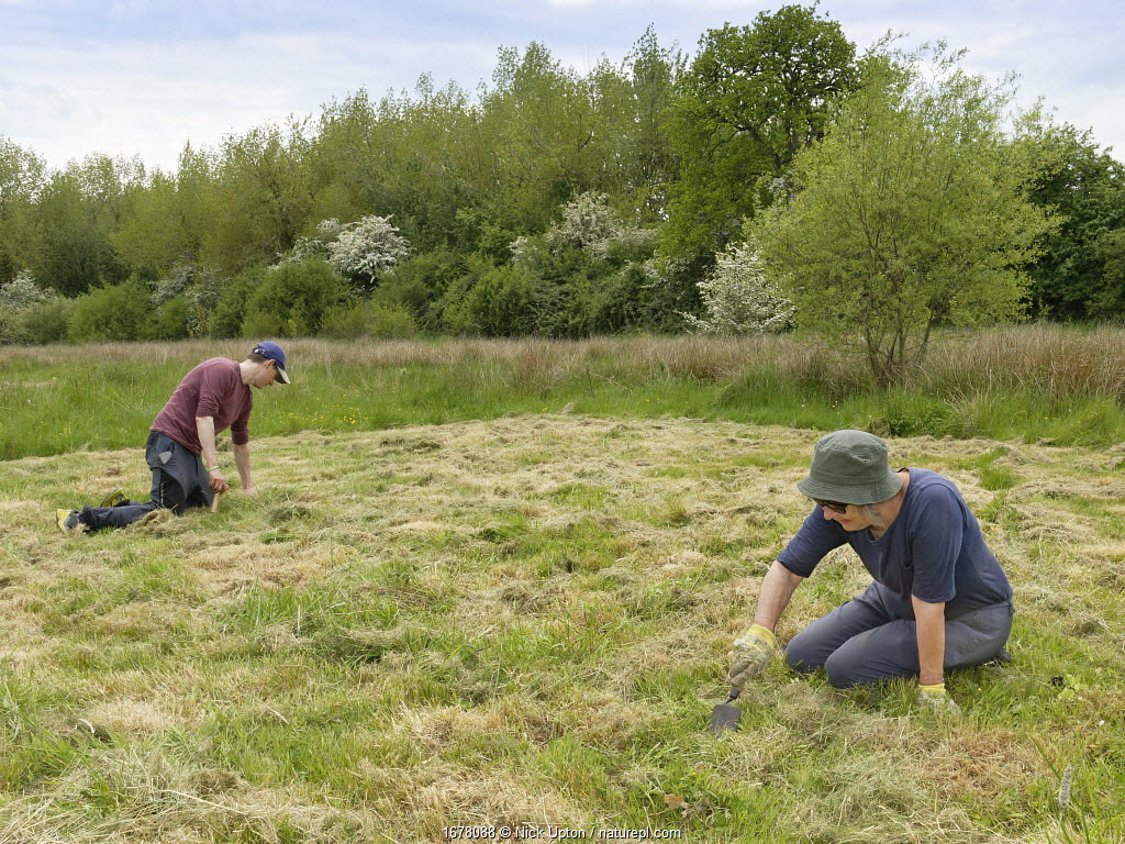 Wiltshire Wildlife Trust volunteers planting Devil's bit scabious (Succisa pratensis) plant plugs in a mown patch of a formerly farmed marshy meadow to provide food for caterpillars of the Marsh fritillary butterfly (Euphydryas aurinia), Upper Minety Meadows reserve, Wiltshire, UK, June. Model released