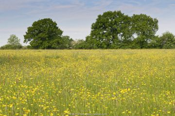 Formerly farmed meadow with many flowering Meadow buttercups (Ranunculus acris) surrounded by mature hedgerows and English oak trees (Quercus robur), Wiltshire Wildlife Trust's Upper Minety Meadows reserve, Wiltshire, UK, June.