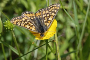 Marsh fritillary butterfly (Euphydryas aurinia) nectaring on a Meadow buttercup (Ranunculus acris) flower in a chalk grassland meadow, Wiltshire, UK, May.