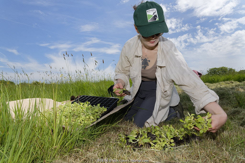 Wiltshire Wildlife Trust volunteer with a tray of Devil's bit scabious (Succisa pratensis) plant plugs, selecting some for planting in a formerly farmed meadow to provide food for caterpillars of the Marsh fritillary butterfly (Euphydryas aurinia), Upper Minety Meadows reserve, Wiltshire, UK, June. Model released