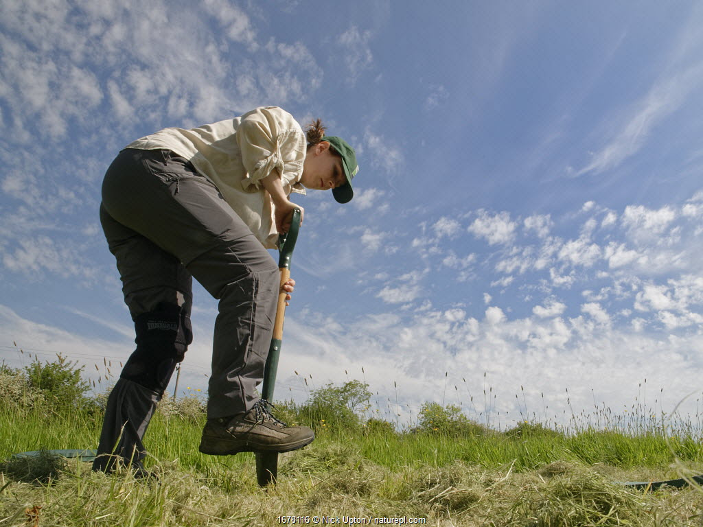 Wiltshire Wildlife Trust volunteer digging a hole in a mown patch of a formerly farmed meadow, before planting a Devil's bit scabious (Succisa pratensis) plant plug to provide food for caterpillars of the Marsh fritillary butterfly (Euphydryas aurinia), Upper Minety Meadows reserve, Wiltshire, UK, June. Model released