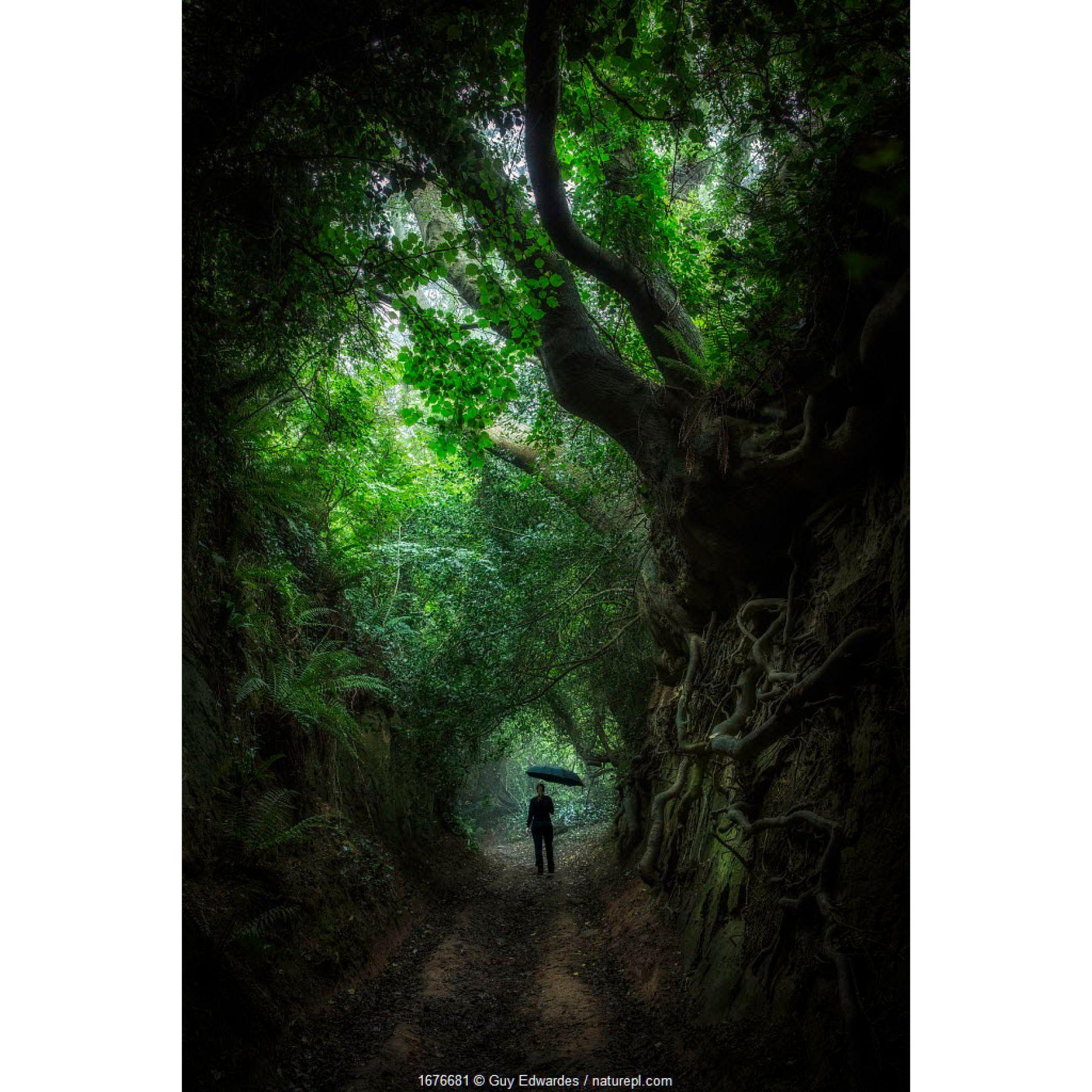 Person walking along Hell Lane, Sunken Lane (Holloway), Symondsbury, Bridport, Dorset, England, UK. August 2020