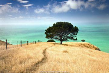 Pine tree (Pinus sp), Decanter Bay, Canterbury, New Zealand
