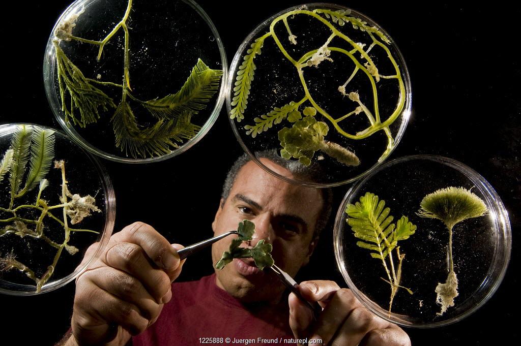 Fred Gurgel organizing his algae / seaweed specimens, as part of the Coral Reef census, Lizard Island, Queensland, Australia, April 2008