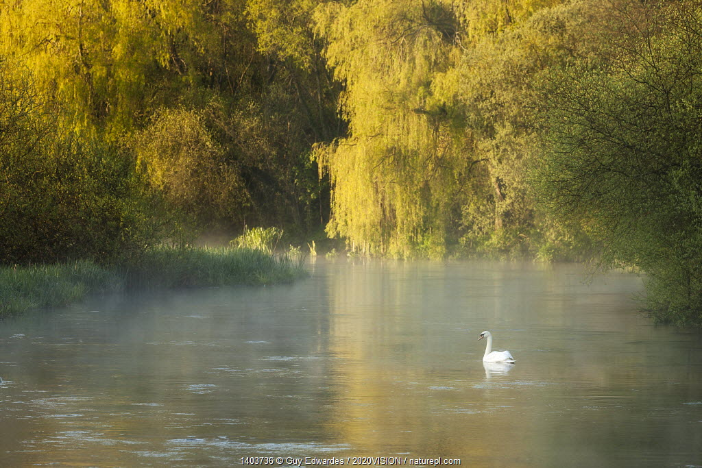 Mute swan (Cygnus olor) on the River Itchen at dawn, Ovington, Hampshire, England, UK, May.