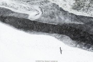 Fulmar (Fulmarus glacialis) above snowy lava beach near Djupivogur in the East of Iceland, March