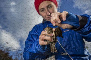 Woman releasing a Hermit thrush (Catharus guttatus) from a mist net. Block island, Rhode Island, USA.