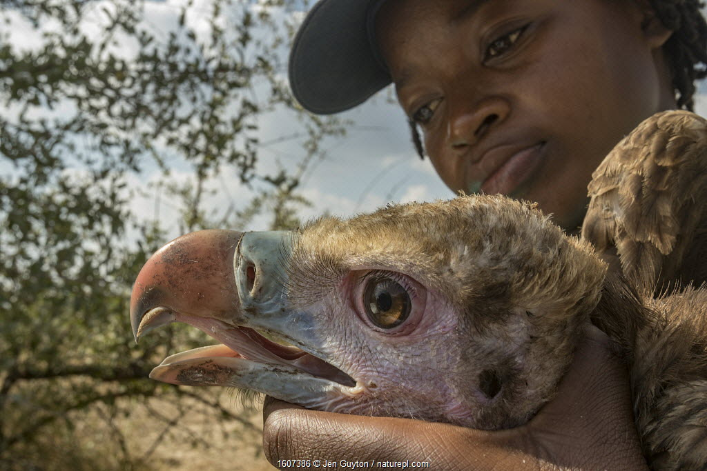 Young Mozambican biologist Diolinda Mundoza admires a young white-headed vulture (Trigonoceps occipitalis) as she prepares to release it. Gorongosa National Park, Mozambique.