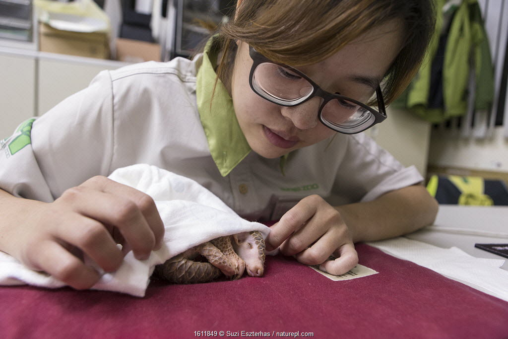 Research assistant caring for twelve day old orphaned baby Chinese pangolin (Manis pentadactyla). Taipei Zoo, Taipei, Taiwan. 2014. Captive. Model released.