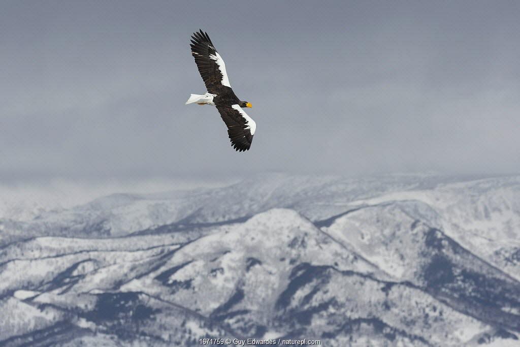 Steller's sea eagle (Haliaeetus pelagicus) in flight over Shiretoko National Park, Hokkaido, Japan. February.