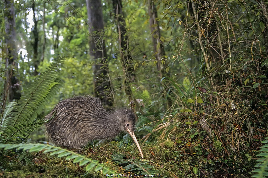 Rowi or Okarito Brown Kiwi (Apteryx rowi) male called 'Scooter' in rainforest habitat. Okarito Forest, Westland, South Island, New Zealand.