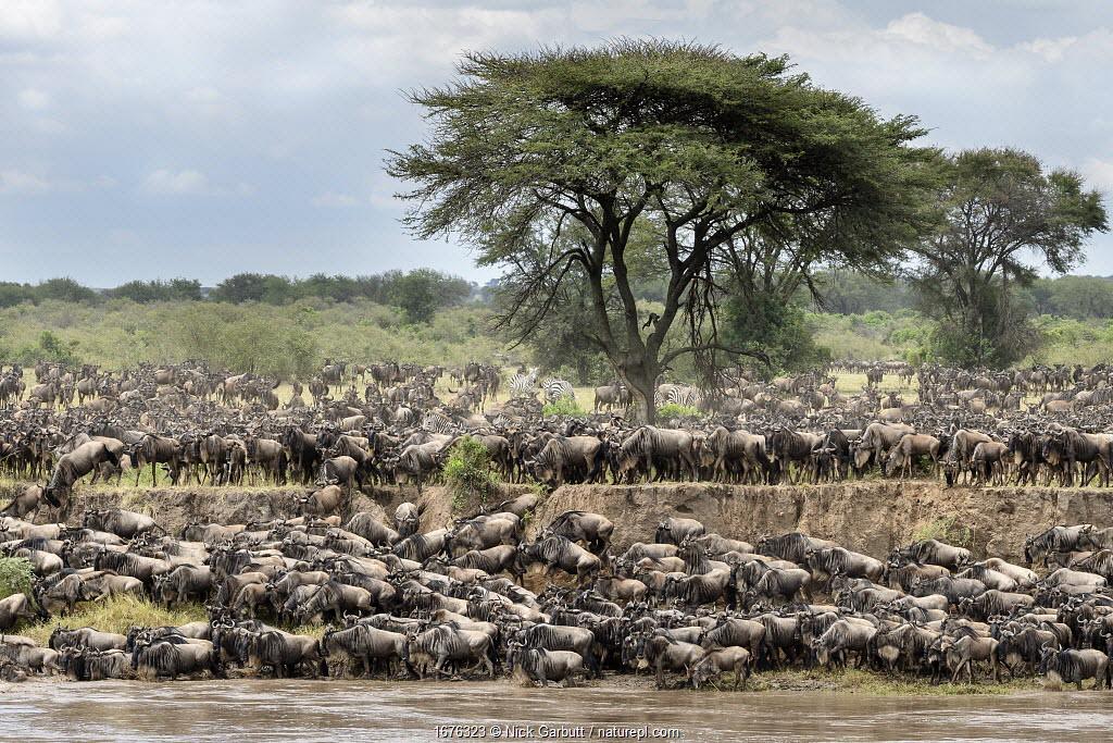 Herds of White-bearded wildebeest (Connochaetes taurinus albojubatus) waiting to cross the Mara River. Northern Serengeti National Park, Tanzania (early September).