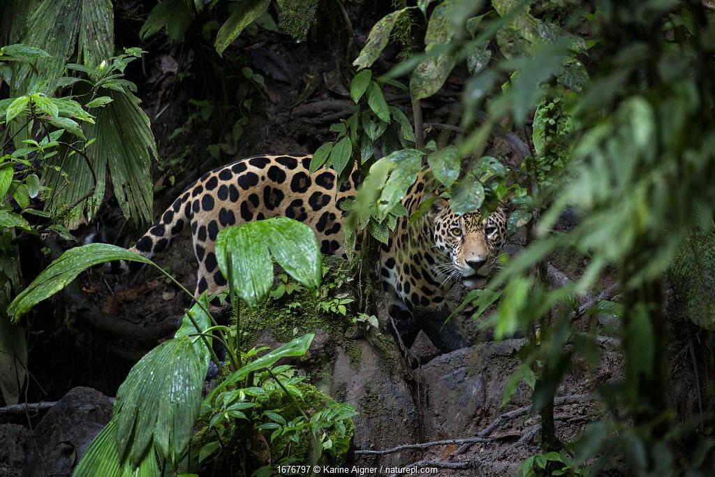 Jaguar (Panthera onca) looking through forest leaves in Yasuni National Park, Ecuador. Amazon Rainforest.