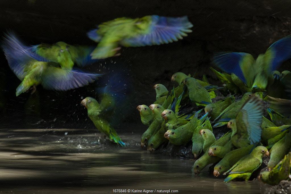 Cobalt-winged parakeets (Brotogeris cyanoptera) eating clay. Yasuni National Park, Orellana, Ecuador.