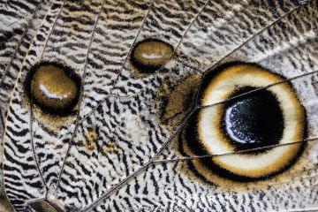 Close up of the spots pattern on wing of a Giant owl butterfly (Caligo sp) Mindo, Ecuador.