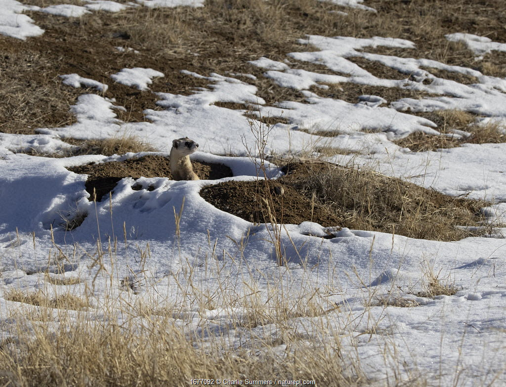 Black-footed ferret (Mustela nigripes) pauses after emerging from the Prairie dog burrow in the background as it selects the next mound to run to and investigate. Colorado, USA. January.