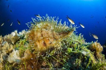 Hairy triton (Monoplex parthenopeus) Vervece rock, Punta Campanella Marine Protected area, Costa Amalfitana / Amalfi coast, Italy, Tyrrhenian Sea, Mediterranean. October