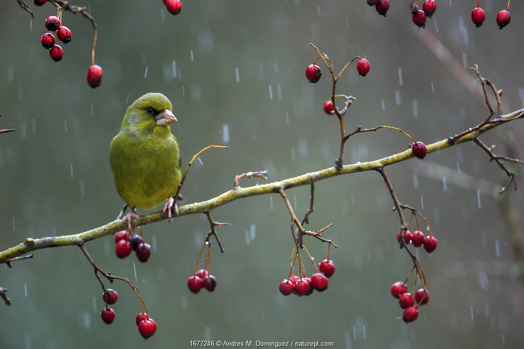 Greenfinch (Carduelis chloris) perched on a branch of hawthron a snowy day, Sierra de Grazalema Natural Park, Cadiz, Andalusia, southern Spain. January.