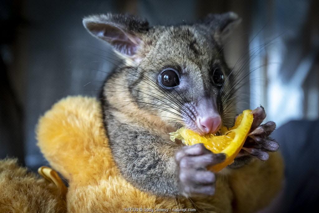 Brushtail possum (Trichosurus vulpecula) rescued female baby, cuddling a orange teddy bear, eating some orange. Apollo Bay, Victoria, Australia
