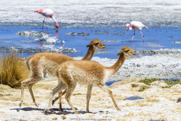 Vicuna (Vicugna vicugna) group, at edge of salt pan, with flamingos in the background. South Lipez, Bolivia