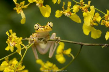 Imbabura tree frog (Hypsiboas picturatus), Mache Chindul Reserve, Choco, Ecuador