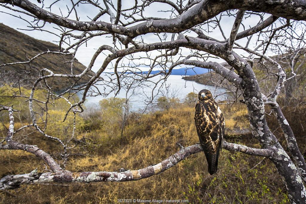 Galapagos hawk (Buteo galapagoensis), Tagus cove, Isabela Island, Galapagos Island.