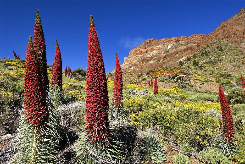 Tajinaste rojo (Echium wildpretii),Teide National Park, UNESCO World Heritage Site. Canary Islands. Endemic.