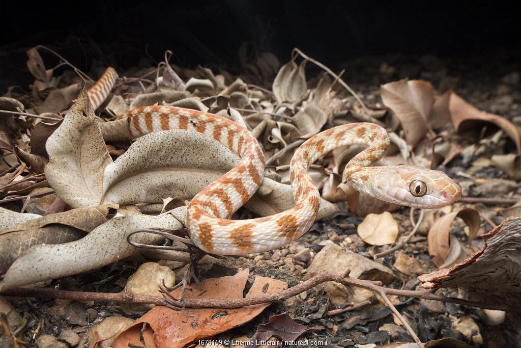 Brown tree snake (Boiga irregularis), Berry Springs, Northern Territory, Australia, September.