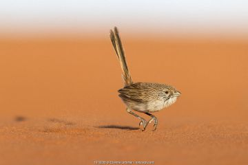 Eyrean Grasswren (Amytornis goyderi) in typical hopping motion, Andado Station, Northern Territory, Australia, November.