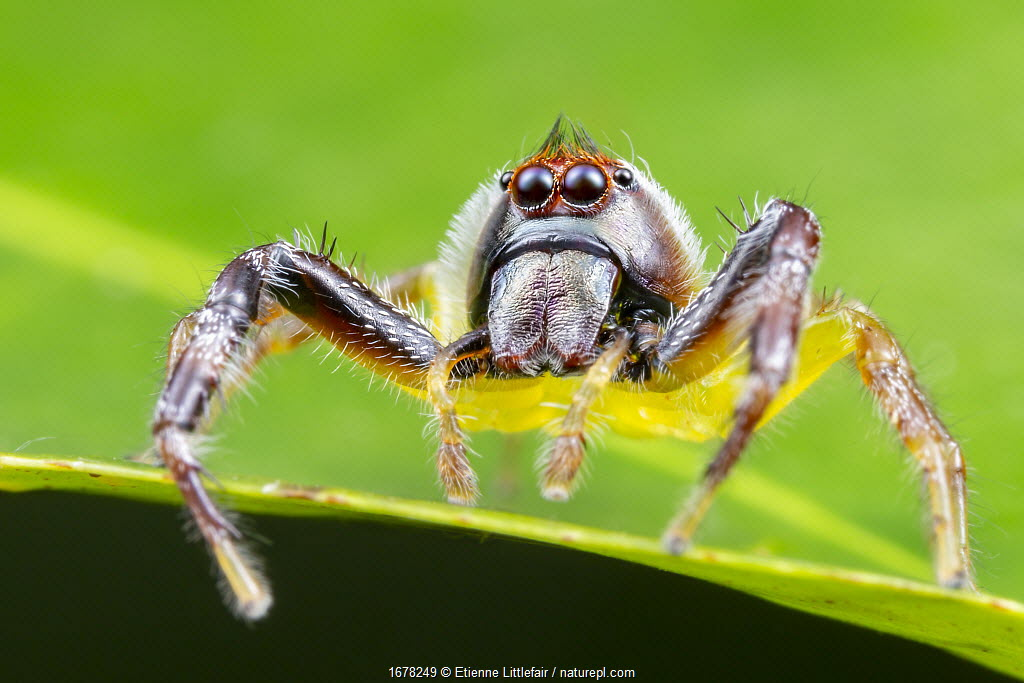 Northern green jumping spider (Mopsus mormon), adult male actively hunting, Darwin, Northern Territory, Australia, March.
