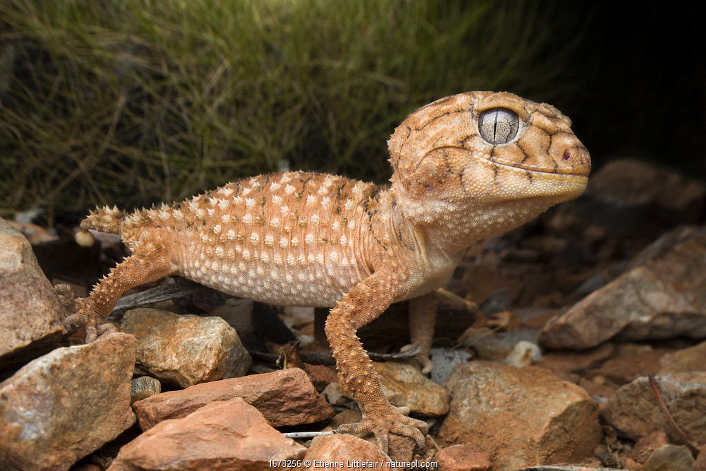 Centralian knob-tailed gecko (Nephrurus amyae), large adult, near Alice Springs, November.