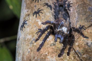 Arboreal tarantula (Lampropelma sp.) female guarding spiderlings at entrance to hollow retreat, 4 metres up a tree. Danum Valley, Sabah, Borneo.