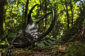 Atlas beetle / Three-horned rhinoceros beetle male (Chalcosoma sp.) with enourmous horns, used to fight rival males. Danum Valley, Sabah, Borneo.