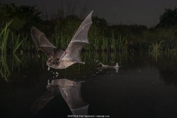 Mozambican long-fingered bat (Miniopterus mossambicus) taking a sip of water in one of the last remaining watering holes at the end of the dry season in Gorongosa National Park, Mozambique.