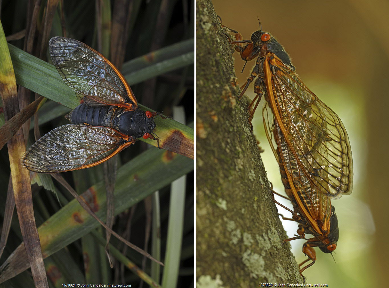 17 year Periodical cicada (Magicicada septendecim) adult (left), and adults mating (right). Brood X cicada. Maryland, USA, June 2021