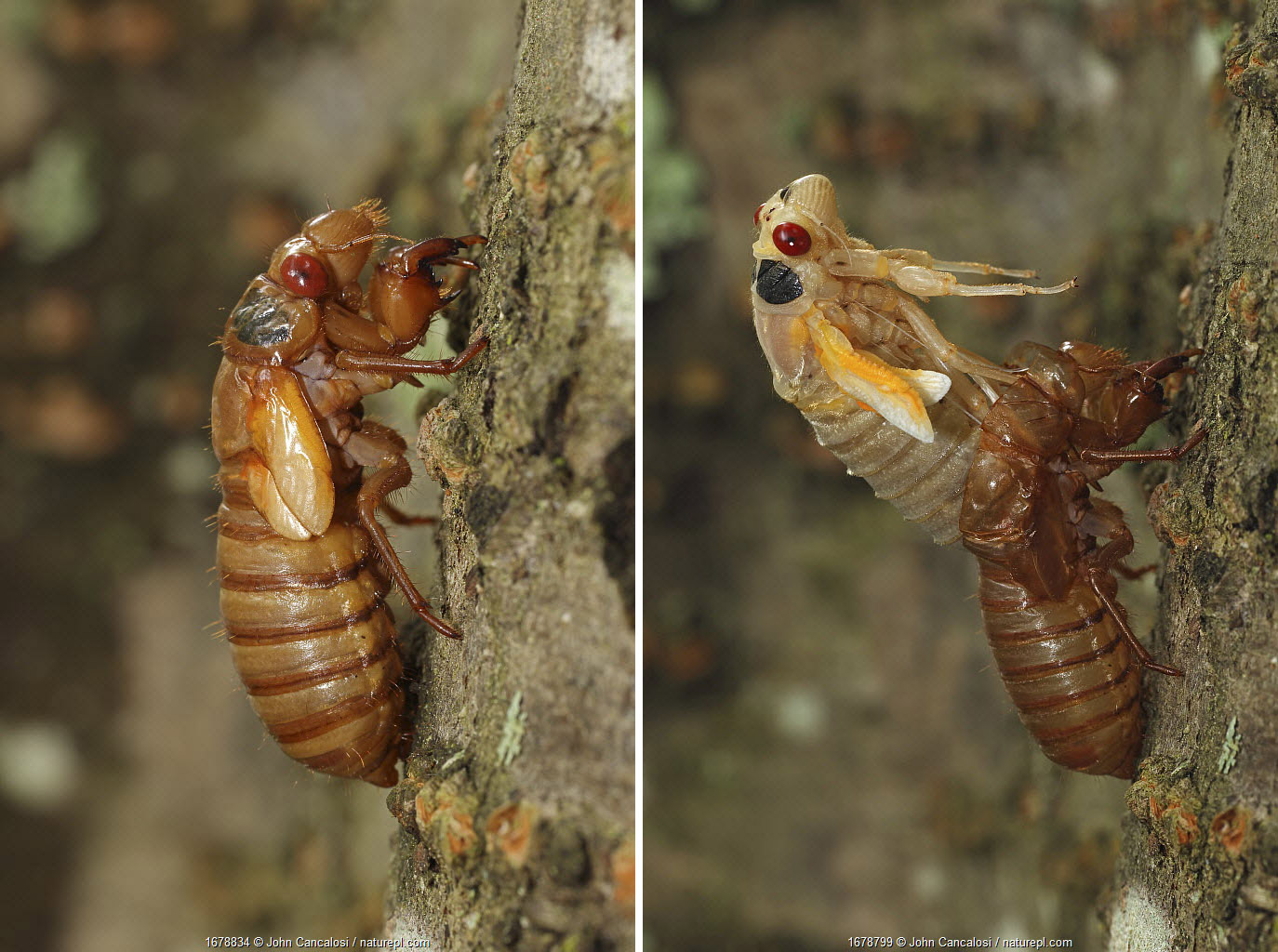 17 year Periodical cicada (Magicicada septendecim) recently emerged larva (left), teneral adult Brood X cicada, molting (right), Maryland, USA, June 2021
