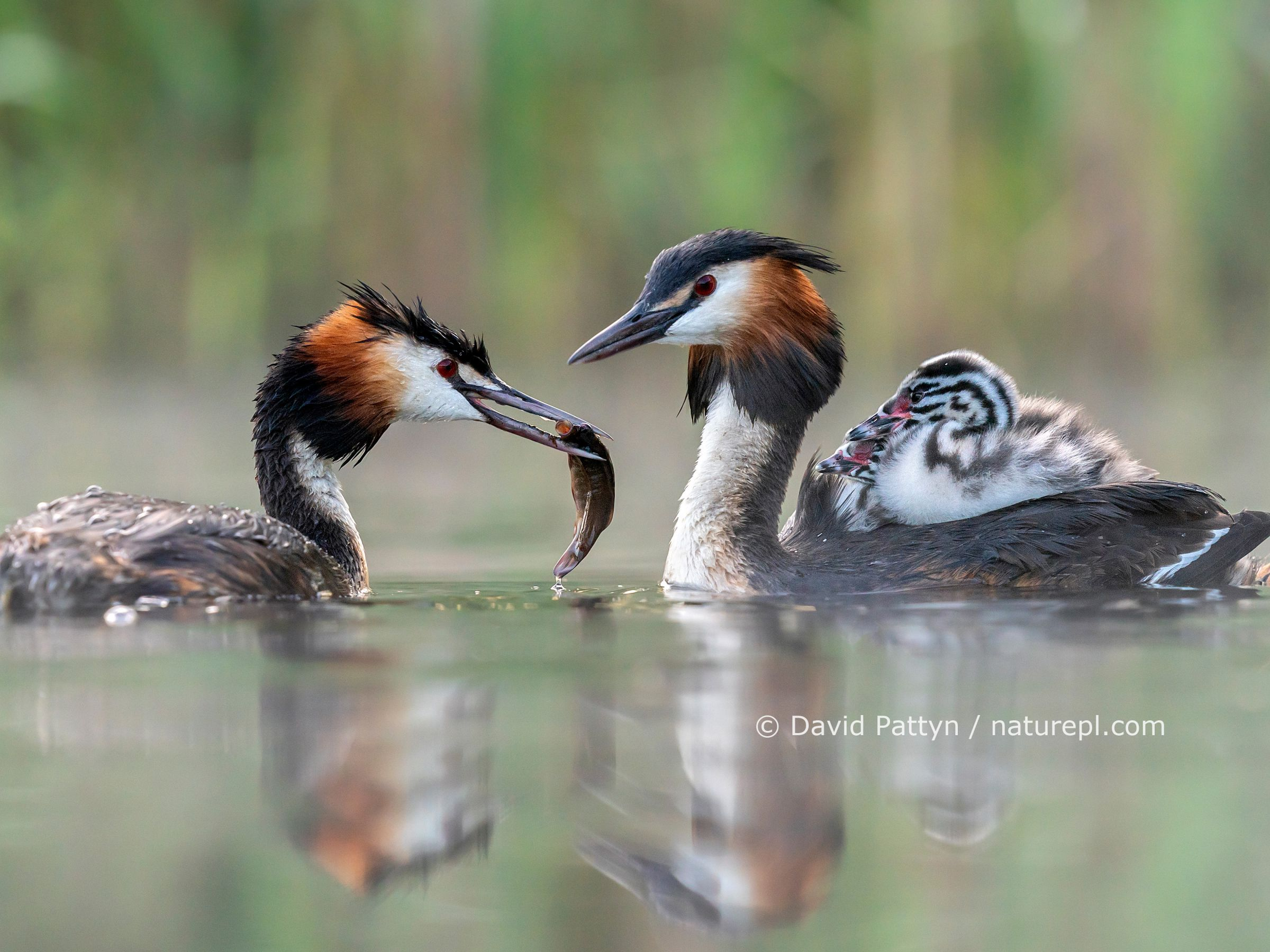 Great crested grebe (Podiceps cristatus) parent bird with chicks on the back while the other parent is feeding the chicks with a fish Valkenhorst Nature Reserve, Valkenswaard, The Netherlands. May