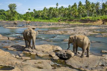 Sri Lankan elephants (Elephas maximus) Indian elephant subspecies, Pinnawala village, Sri Lanka. Endangered species.