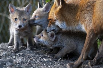 Red fox (Vulpes vulpes) grooming her cubs North London, England, UK. April.