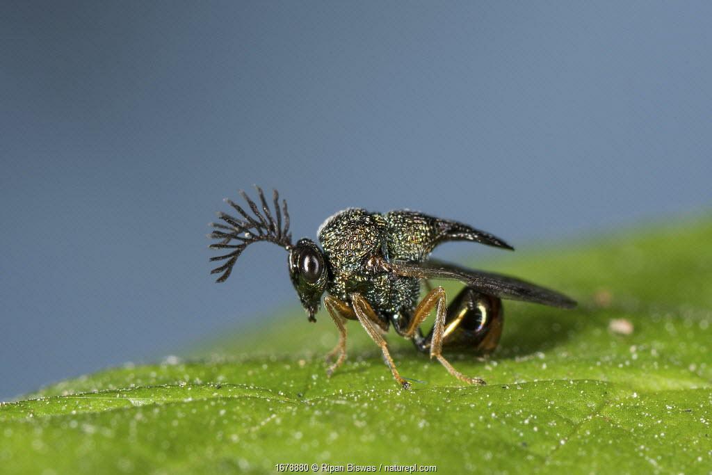 Eucharited Wasp (Eucharitedae) parasitic wasp, which attacks ants, Coochbehar, India.