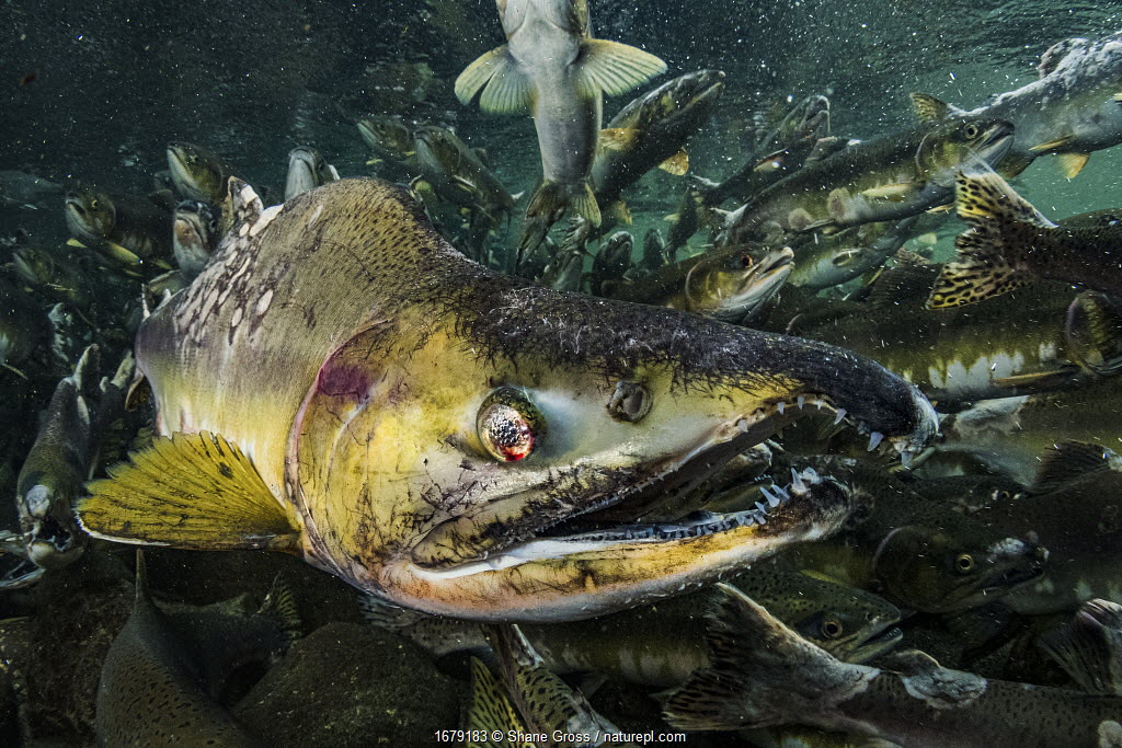 Pink salmon (Oncorhynchus gorbuscha), male, in a severely degraded state, migrating up river, Vancouver Island, Canada.