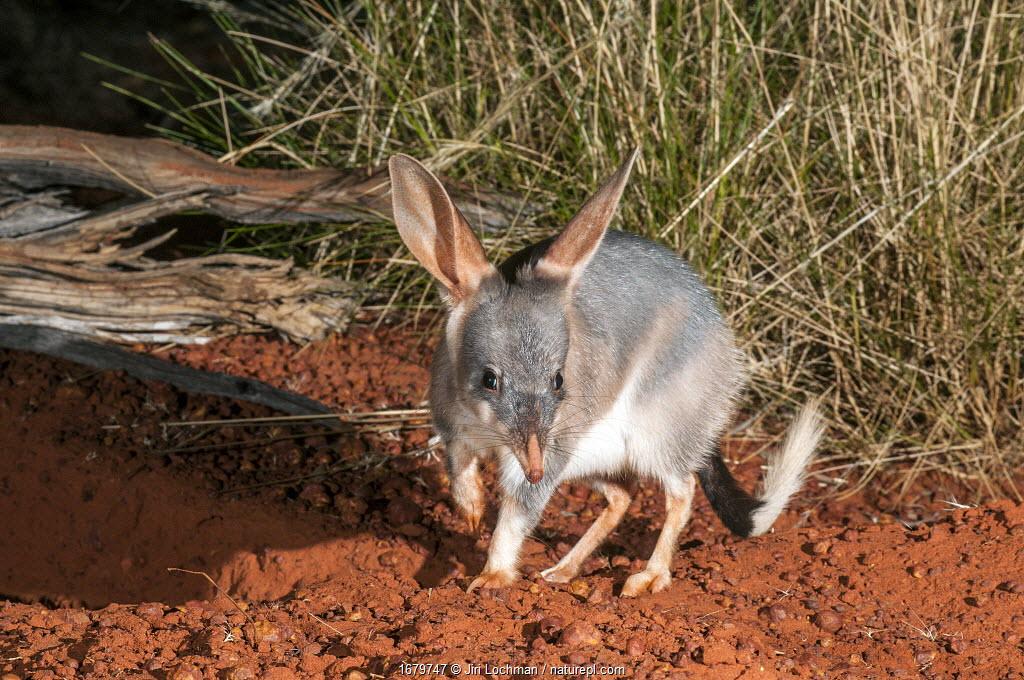 Greater bilby or bilby (Macrotis lagotis) Canning Stock Route, Little Sandy Desert, Western Australia. Vulnerable