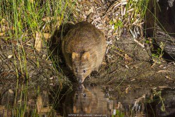 Quokka (Setonix brachyurus), on the mainland, Waychinicup National Park, Western Australia.